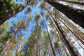 Tall pine trees in the forest Royalty Free Stock Image
