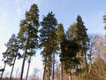 Tall pine trees nature background Stock Photos