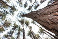 Tall Pines Stock Photography