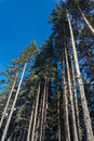 Tall pines on blue sky background Stock Photo