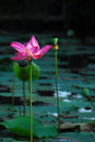 Tall pink lily flower with open leaves in pond. Royalty Free Stock Photo