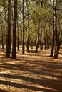 Tall poplar trees and shadows Royalty Free Stock Photography