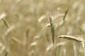 Tall Prairie Grass Meadow or field background Royalty Free Stock Photo