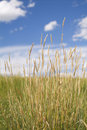 Tall prairie grasses Royalty Free Stock Photos