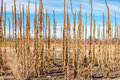 Tall Prairie Plants Winter Royalty Free Stock Photo