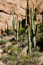 Tall saguaro cactus in the desert highlands near boyce thompson arboretum state park arizona Stock Image