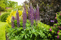 Tall spikes of blue lupin flowers in summertime. Royalty Free Stock Photo
