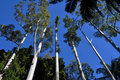 Tall straight eucalypt trees taper into blue sky Stock Photo