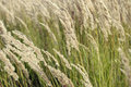 Tall swaying grass Stock Photo
