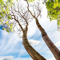 Tall tree the big in blue sky background Royalty Free Stock Photography