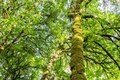 Tall tree covered by moss in the park Vancouver Island British Columbia. Royalty Free Stock Photo