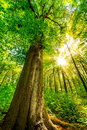 Tall tree in forest Royalty Free Stock Photo