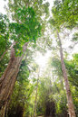 Tall tree in green forest at thailand Royalty Free Stock Images