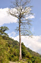 Tall tree in the himalayas annapurna region which is a section of north central nepal Stock Image