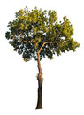 Isolated Tree Royalty Free Stock Photo