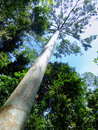 Tall tree in taman negara malaysia national park Stock Photography