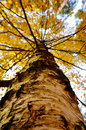 Tall tree and yellow leaves in autumn Royalty Free Stock Photo