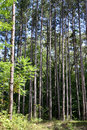 Tall trees Stock Image
