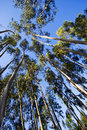 Tall trees Royalty Free Stock Photo