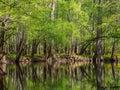 Tall Trees Along Waters Edge, Cedar Creek, Congaree National Park Royalty Free Stock Photo