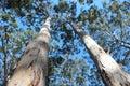 Tall Trees Boranup  Karri Forest West  Australia Royalty Free Stock Photo