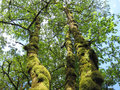 Tall trees covered moss Royalty Free Stock Photo