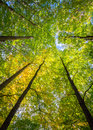 Tall trees of an enchanting forest canopy reach skyward as sunlight filters through the yellow and green foliage a creating view Royalty Free Stock Image