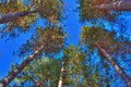 Tall trees in the forest with bright blue sky Stock Photo