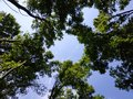 tall trees in the forest, reach for the sky and create Royalty Free Stock Photo