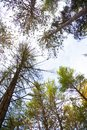 Tall trees in the forest Royalty Free Stock Photo