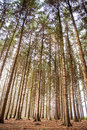 Tall trees high above in forest Royalty Free Stock Images
