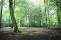 Tall trees light shining through Royalty Free Stock Image