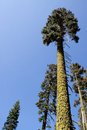 Tall trees with moss covered trunks Royalty Free Stock Images