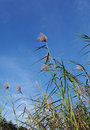 Tall tropical reeds and blue sky landscape Royalty Free Stock Photography