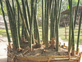 Tall vertical bamboo shoots in Vietnam Royalty Free Stock Photo