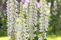 Tall white lupine bokeh background in a spring garden with a green Stock Photo