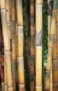 Tall yellow bamboo Royalty Free Stock Photos