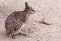 Tamar wallaby Stock Photos