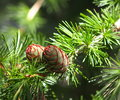Tamarack or larch cones in early summer Royalty Free Stock Photography