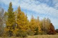 Tamaracks in the Fall Royalty Free Stock Photo
