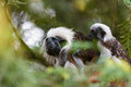 Tamarin family with small baby Royalty Free Stock Photo