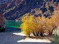 Tamarisk trees seen growing shore side arizona side colorado river below hoover dam trees also called salt ceder invasive alien Stock Photos