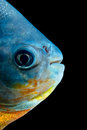 Tambaqui fish head detail studio aquarium shot Royalty Free Stock Images