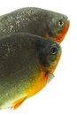 Tambaqui pacu fish isolated on white studio aquarium shot Stock Photo