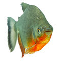 Tambaqui pacu fish isolated on white studio aquarium shot Stock Photography