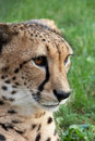 Tame cheetah Stock Photography
