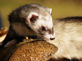 Tame ferret outside in the woodpile Stock Photo