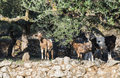 Tame goats among the olive trees sun light Stock Photos