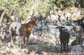 Tame goats among the olive trees sun light Stock Photo