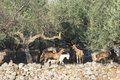 Tame goats among the olive trees sun light Royalty Free Stock Photo
